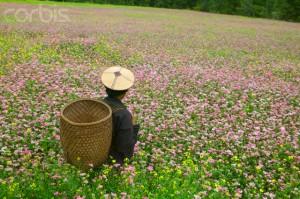 Farmer in a buckwheat field